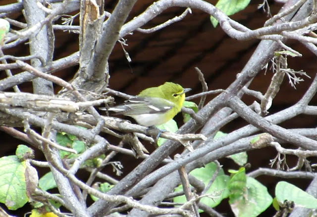 Yellow-throated Vireo - Dry Tortugas, Florida