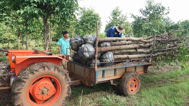 Cây Sao chuyển hộ khẩu về Sài Gòn - 06.2017
