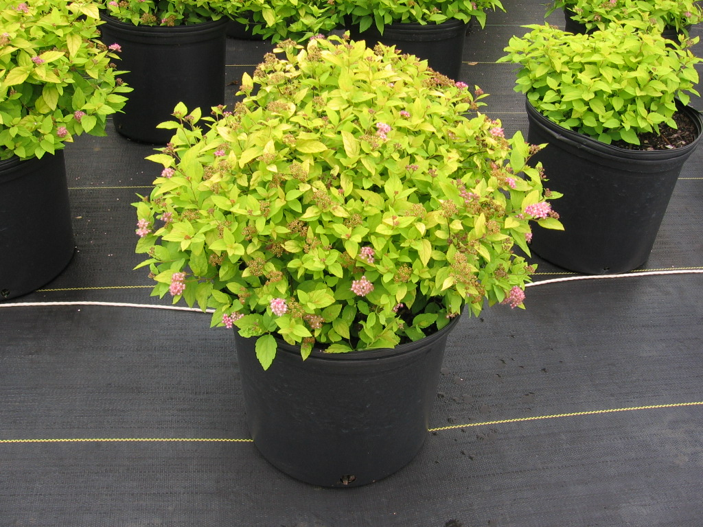 Goldmound Spirea Where To Buy