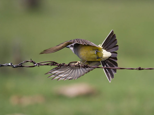 Figure 12: The square tail of this Western Kingbird looks rounded when fanned all the way open. The pattern of white outer vain on the outer tail feather is clearly seen from this underside viewpoint.