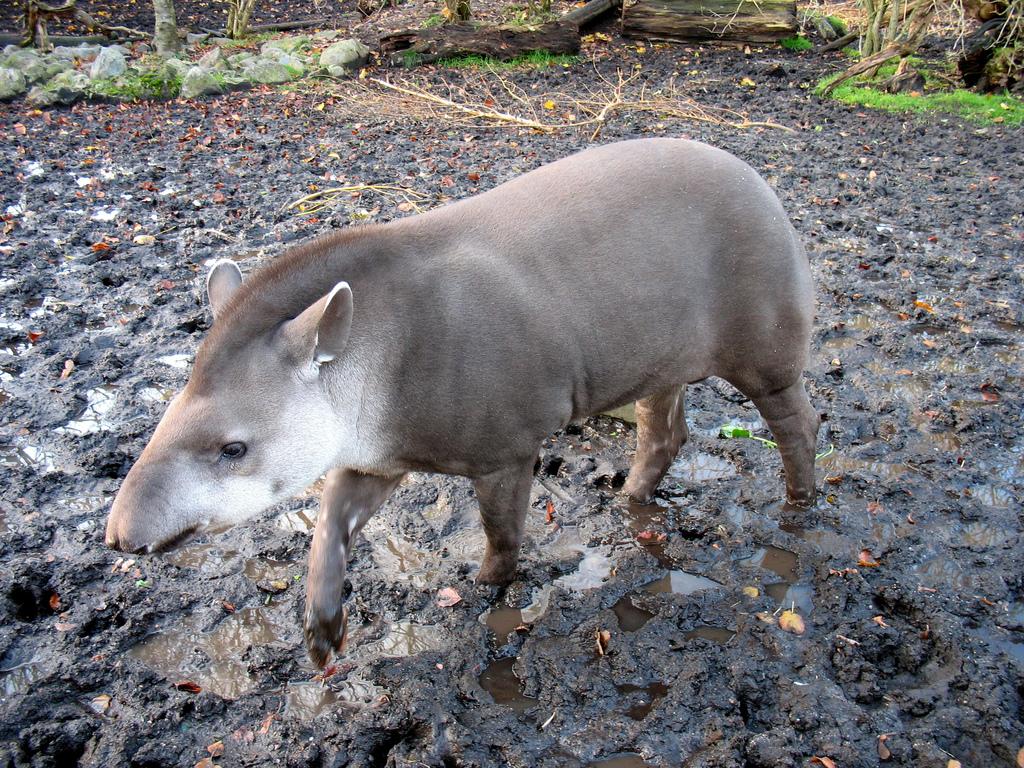Wallpapers Clean Cute Desktop Wildlife Beautiful Tapir Animal