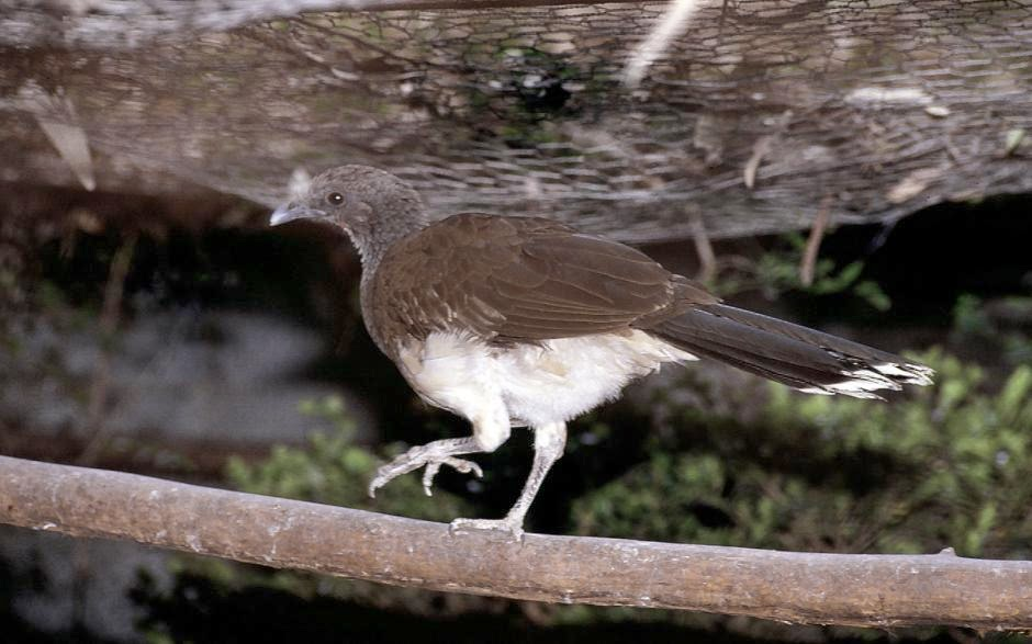 White bellied Chachalaca