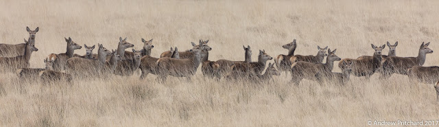 A large group of deer walk through deep straw-like grass.
