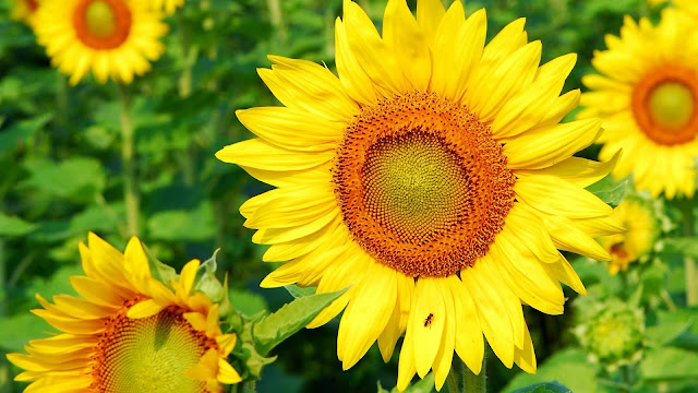 Sunflower HD Wallpapers Pictures Backgrounds Download