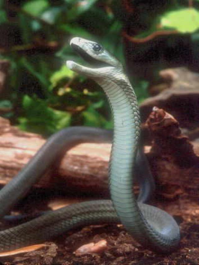 Black Mamba Snake   Hi...