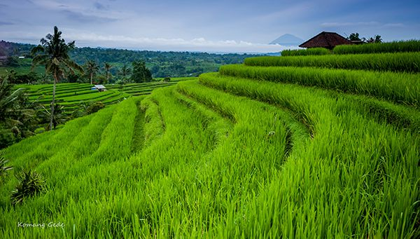 Bali is ane of the most famous rice fields inward Bali isle inward improver to  DestinationsinBali; Jatiluwih Rice Terraces - Bali, Republic of Indonesia Tourist Attraction