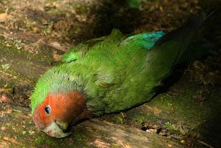 Burung Lovebird - Berak Kapur yang Menyerang Burung Lovebird  dan Cara Penangannannya - Penangkaran Burung Lovebird  -