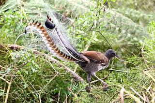 Australian songbird