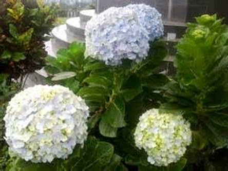 Manfaat tanaman Hydrangea