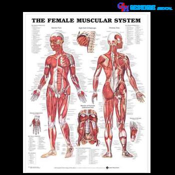 Anatomical Chart Sistem Otot Perempuan
