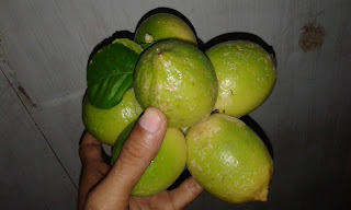 Alhamdulillah panen Jeruk lemon