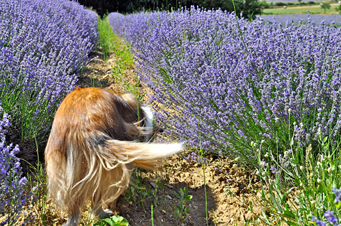 do you believe in dog stop to smell the flowers especially lavender. Black Bedroom Furniture Sets. Home Design Ideas