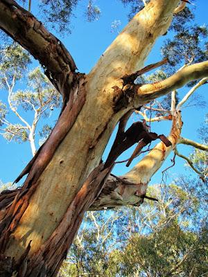 eucalyptus tree with bark peeling carnegie park victoria australia photo by sue wellington