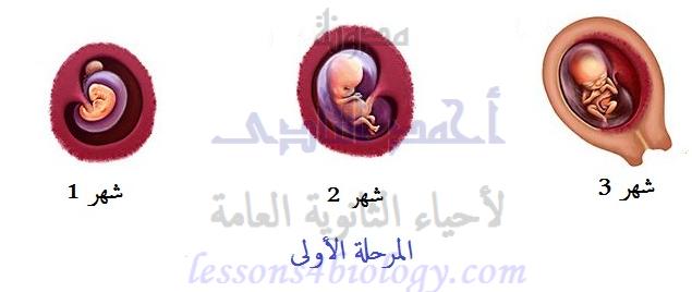 المرحلة الأولى من مراحل الحمل
