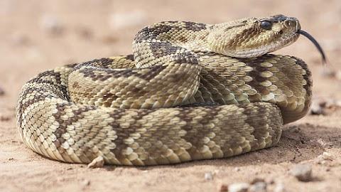 Minden negyedik percben meghal egy ember kígyómarás miatt