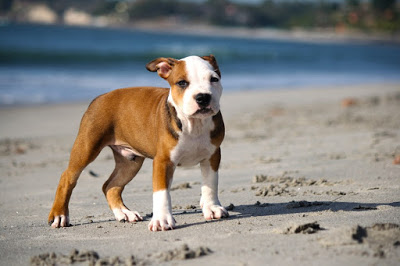 Before You Decide To Breed Pit Bull Puppies: Dog Breeding Advice