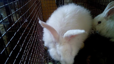 Pet Rabbit Care