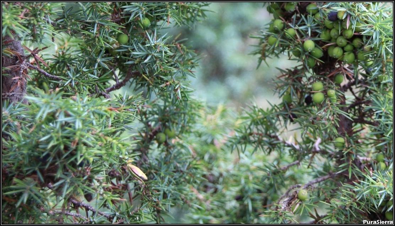 Enebro común, Juniperus communis