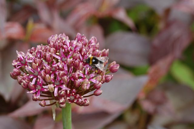 Allium atropureum