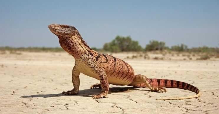 Nil varanı genelde yılanlar ve yavru timsahlarla beslenir, daha büyük canlılardan korkar.