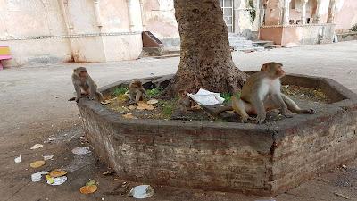 scimmie e monnezza