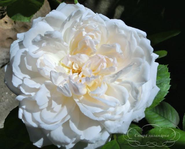 Glamis Castle Devid Austin, розы остинки, розы Дэвида Остина, розарии, сочетания роз