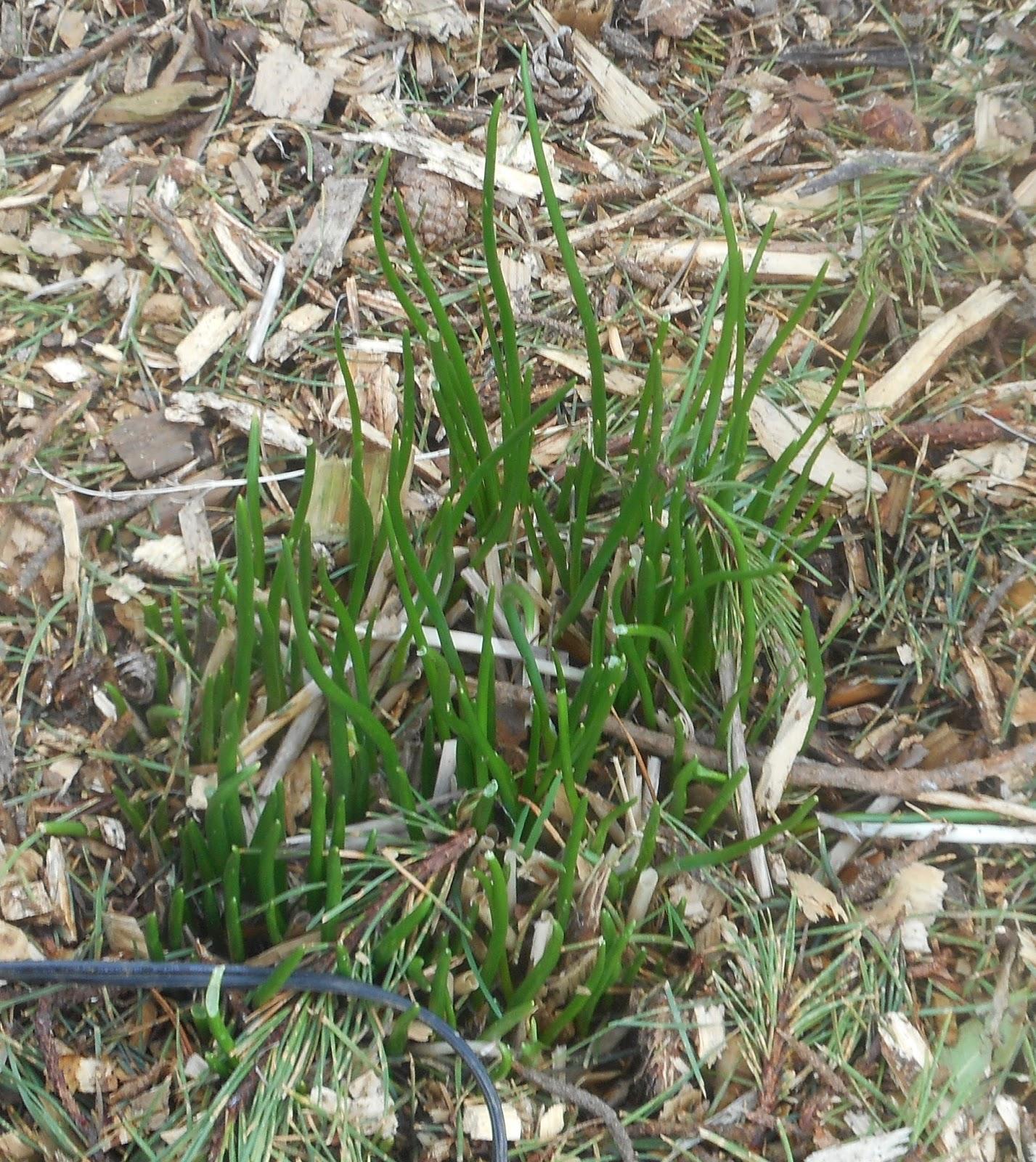 Growing Greener in the Pacific Northwest: Garlic Harvest