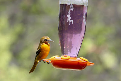 female Baltimore oriole at feeder