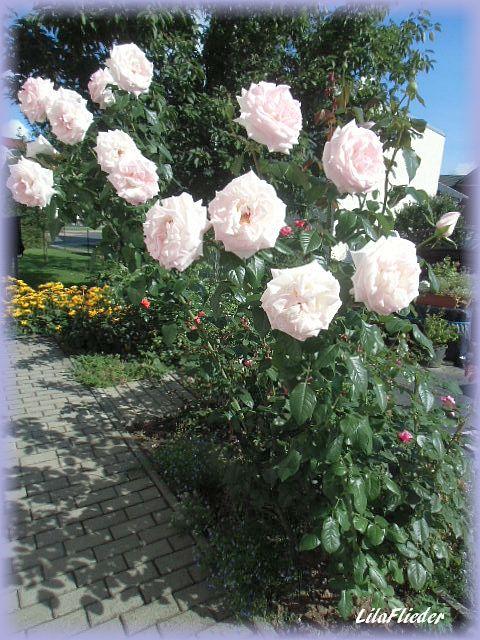 lila flieder garten rosenbl te im september. Black Bedroom Furniture Sets. Home Design Ideas