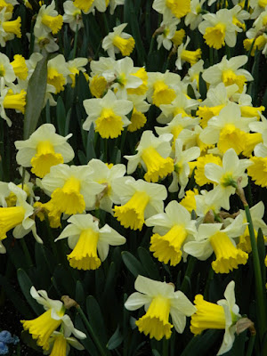 White and yellow trumpet daffodils at the Allan Gardens Conservatory 2016 Spring Flower Show by Paul Jung Gardening Services