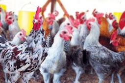 Cara Cerdas Memilih Bibit Ayam Petelur Yang Berkualitas
