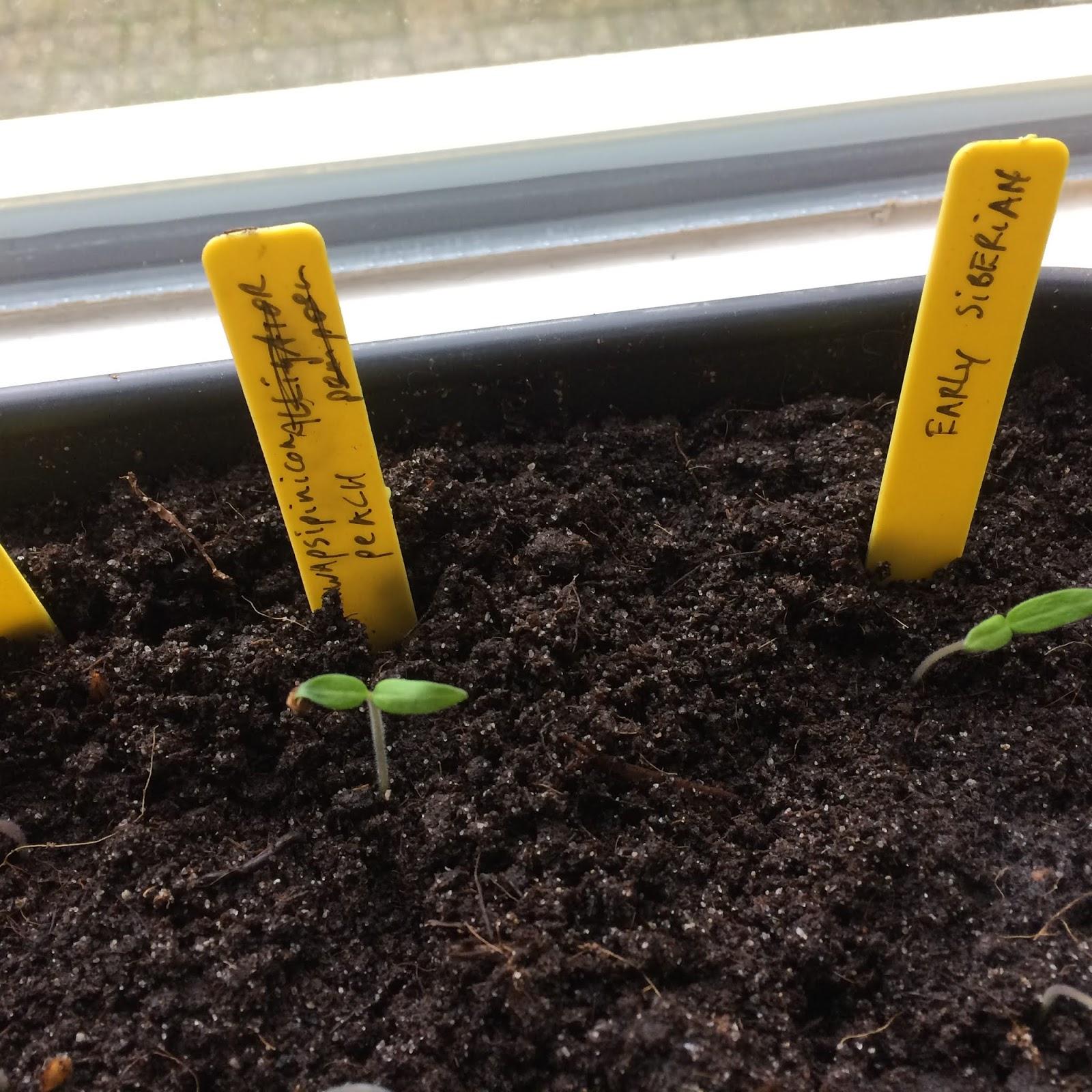 tomaten discutafel moestuin voorzaaien opkweken rassen