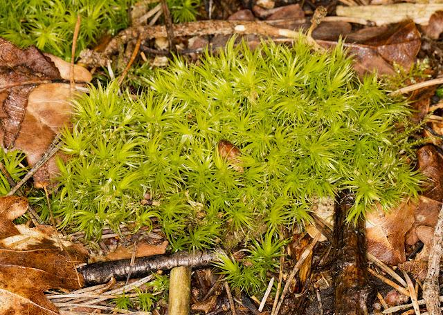 Dicranum scoparium, Broom Fork-moss.  Keston Common, 5 March 2016