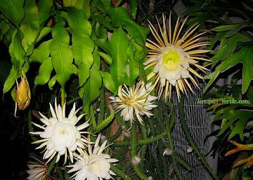 Benefícios da Flor-da-noite - cacto