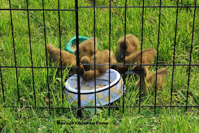 Ducklings drinking water from a bowl, outside on the grass.