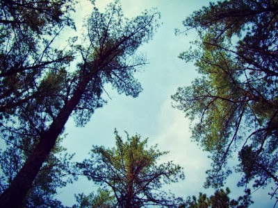 Pine Trees of my dreams