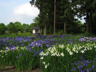 Risoukyo Japanese Iris Festival Hanashoubu Matsuri 鯉艸郷 花菖蒲まつり