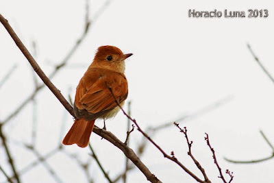 nidos de aves argentinas burlisto