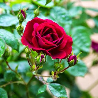 ツルバラ ドクターヒューイの花