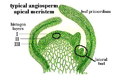 Gambar 1. meristem apeks pucuk pada anggiospermae