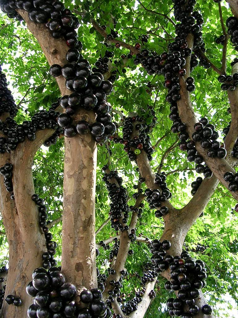 Jabuticaba the tree that fruits on its trunk kuriositas for Unusual small trees