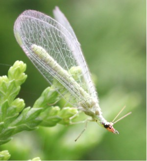 The Invertebrate: Lacewings (genus Chrysopa)