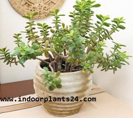 CRASSULA OVATA Jade plant Crassulaceae