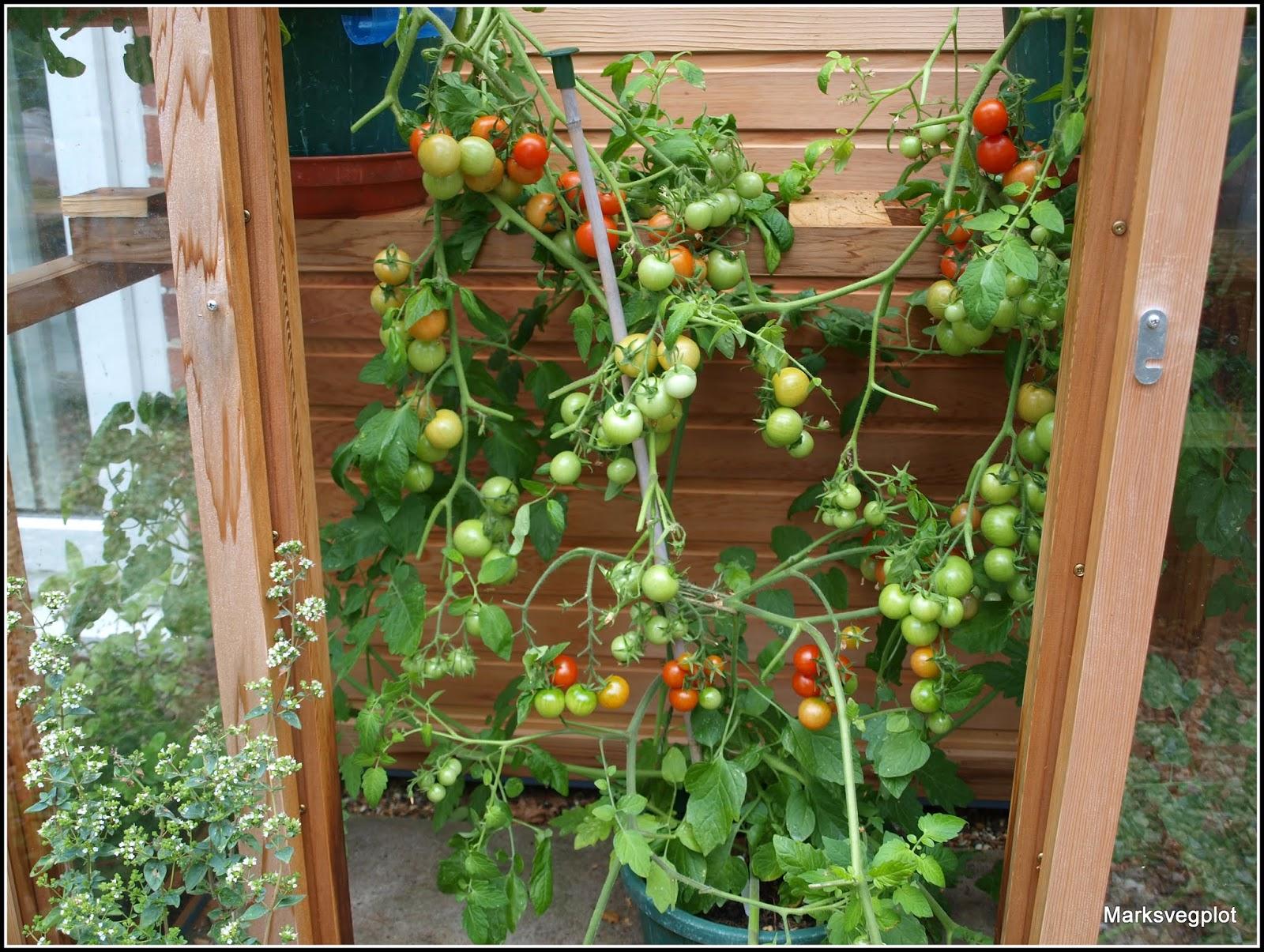 Mark\'s Veg Plot: Tomato update