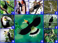 Keanekaragaman 13 Jenis Burung Rangkong (Enggang) di Indonesia