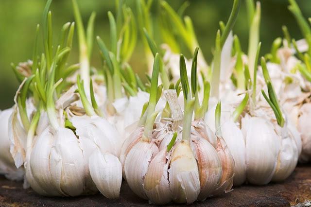 Ăn mầm tỏi thường xuyên giúp thúc đẩy hệ miễn dịch và cải thiện sức khỏe tim mạch