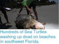 https://sciencythoughts.blogspot.com/2018/07/hundreds-of-sea-turtles-washing-up-dead.html