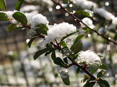 Ramitas de cotoneaster con hielo