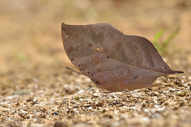 Picture of a dead leaf butterfly or Kallima nachus.