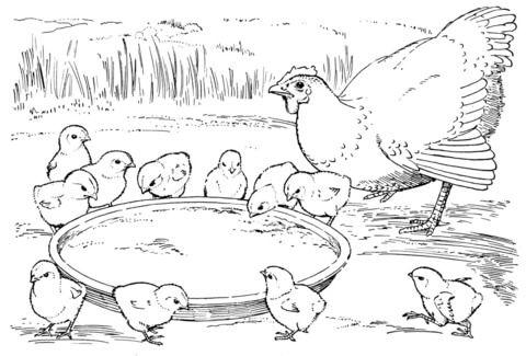 Tranh tô màu ga mẹ và gà con đang ăn